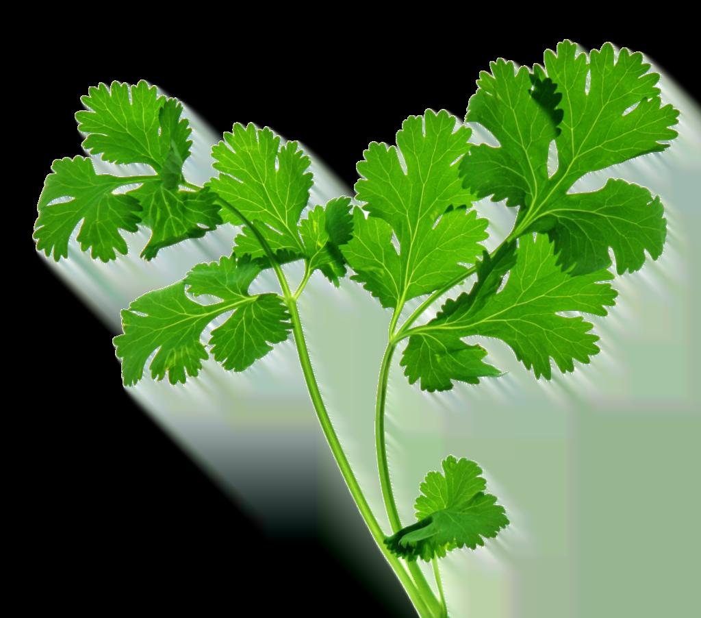 kisspng-organic-food-coriander-indian-cuisine-herb-parsley-herbs-5ab90b1a33eab5.7834579415220764422127