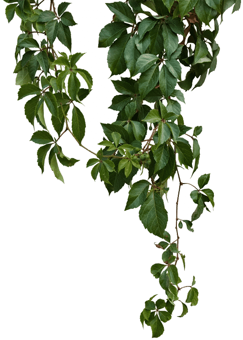 kisspng-vine-green-vines-5a6adf3c949e78.6041708915169534046088 (1)