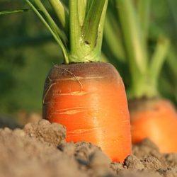 carrot-1565597__340