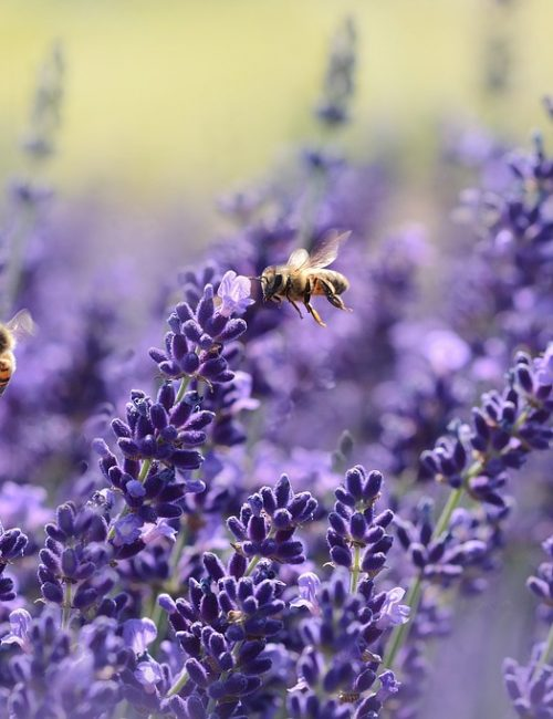 lavender-1537694_960_720 (1)