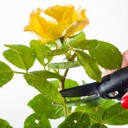 rose-1744950_960_720